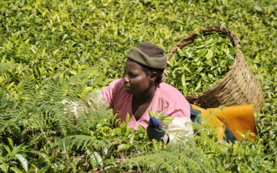 A tea plantation workers harvests leaves in Kenya. Credit: International Labor Organization (ILO)